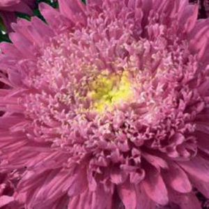 "Asters ""Rose of Shanghai Crimson"""