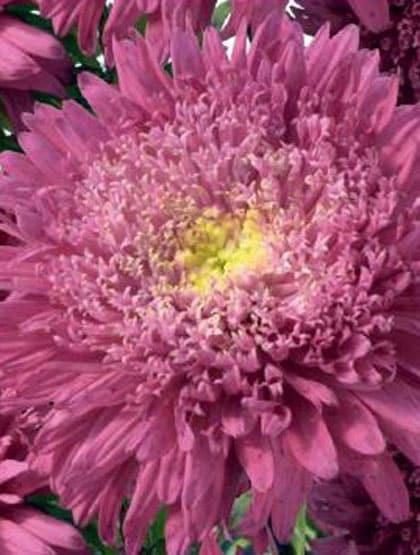 "Asters ""Rose of Shanghai Crimson"""