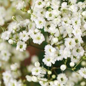 Brudeslør, dobbelte blomster