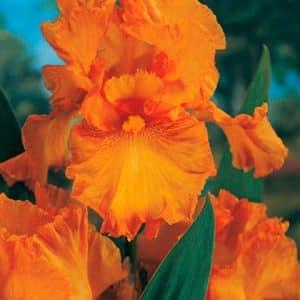 Iris Prince d Orange.