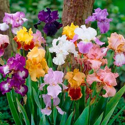 Iris germanica Mix 5 stk