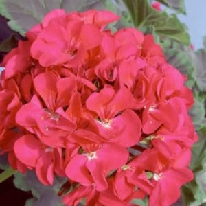 "Pelargonium ""Night Violet H """