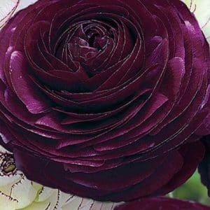 Ranunkel, Purple