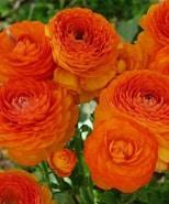 Ranunkel, orange.