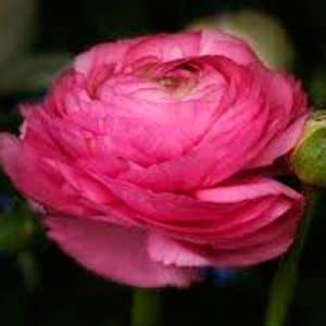 Ranunkel, pink.