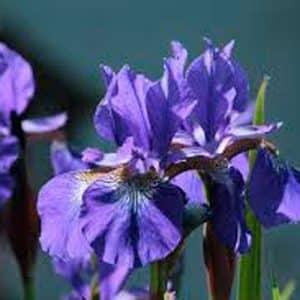 Sibirica Blue. Iris.