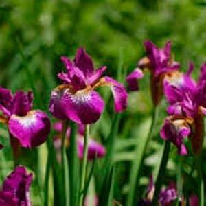 Sibirica Purple. Iris.