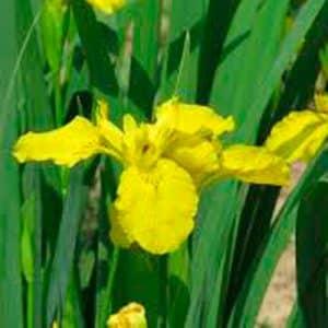 Sibirica Yellow. Iris.