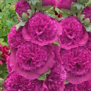"""Stokrose """" Purple rosea""""."""