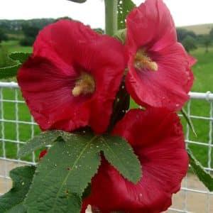 "Stokrose "" Red rosea""."